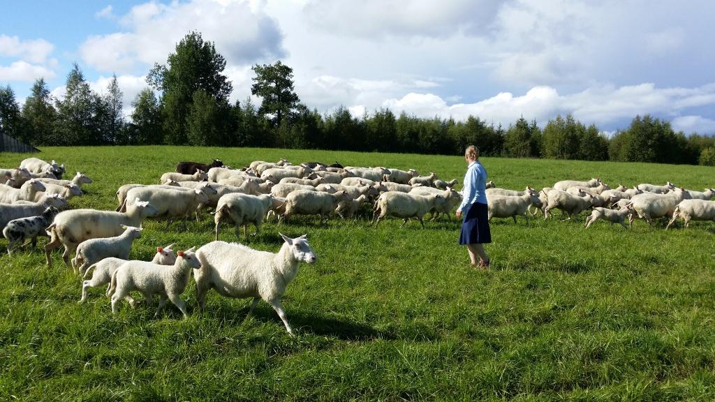 Oviken lamm